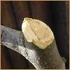 Начинающим садоводам: некоторые вопросы обрезки плодовых культур
