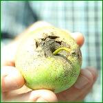 Парша яблони и парша на груше