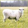 Правильное разведение и содержание овец