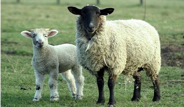 sheeps_1